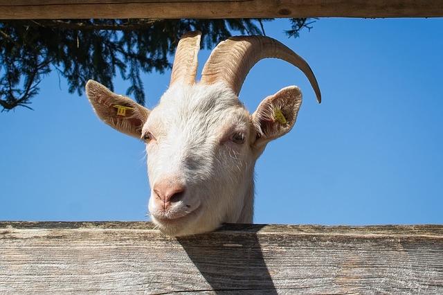 koza za plotem