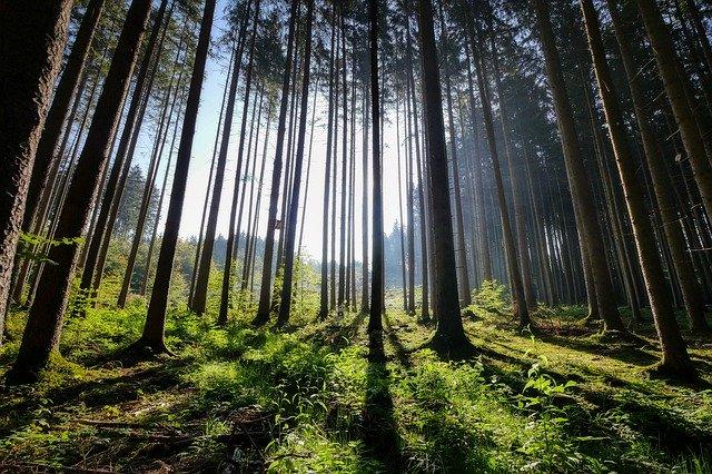 jehličnatý les, dřevo